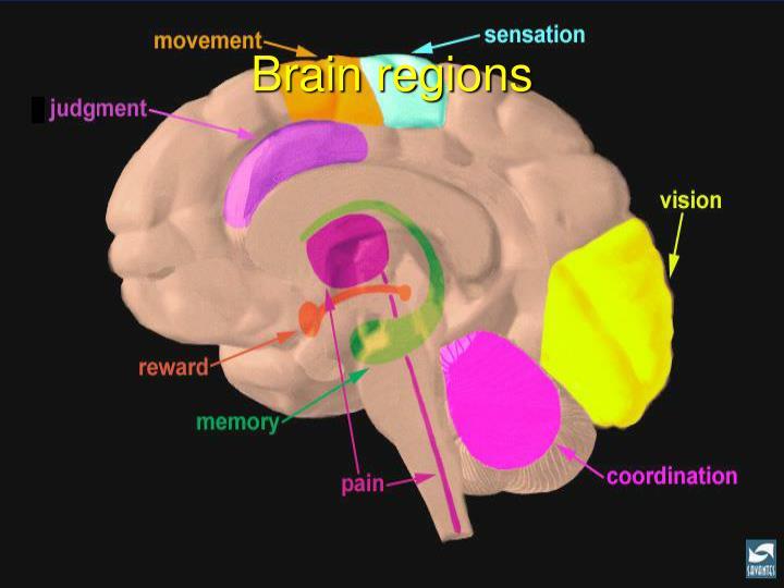 Brain regions