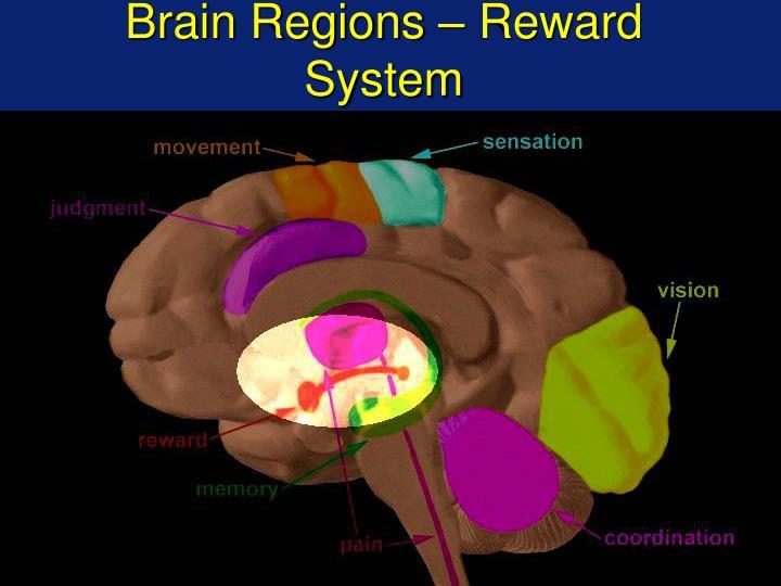 Brain Regions – Reward System