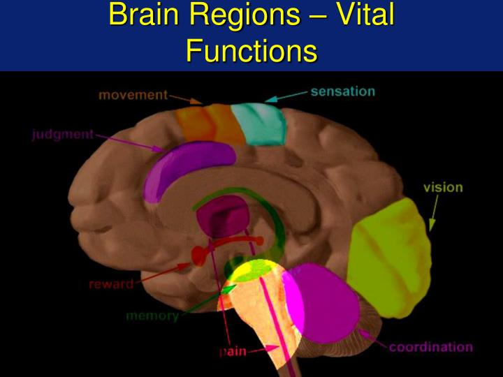 Brain Regions – Vital Functions