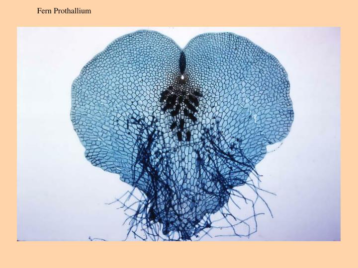 Fern Prothallium