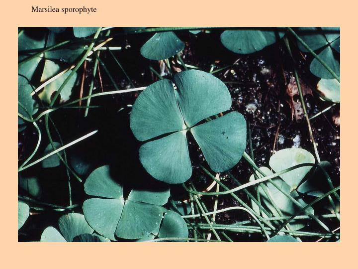 Marsilea sporophyte
