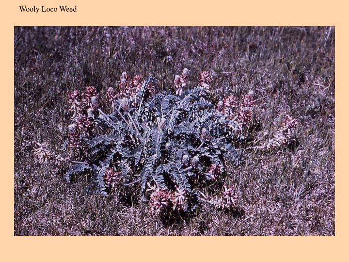 Wooly Loco Weed