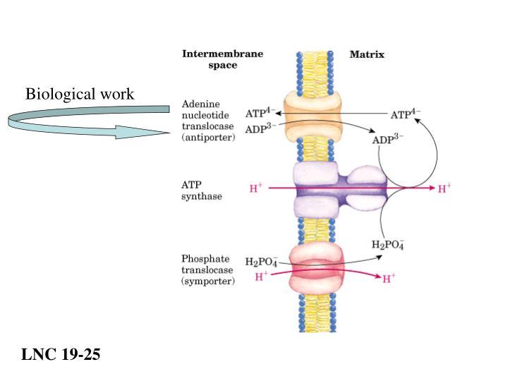 Biological work