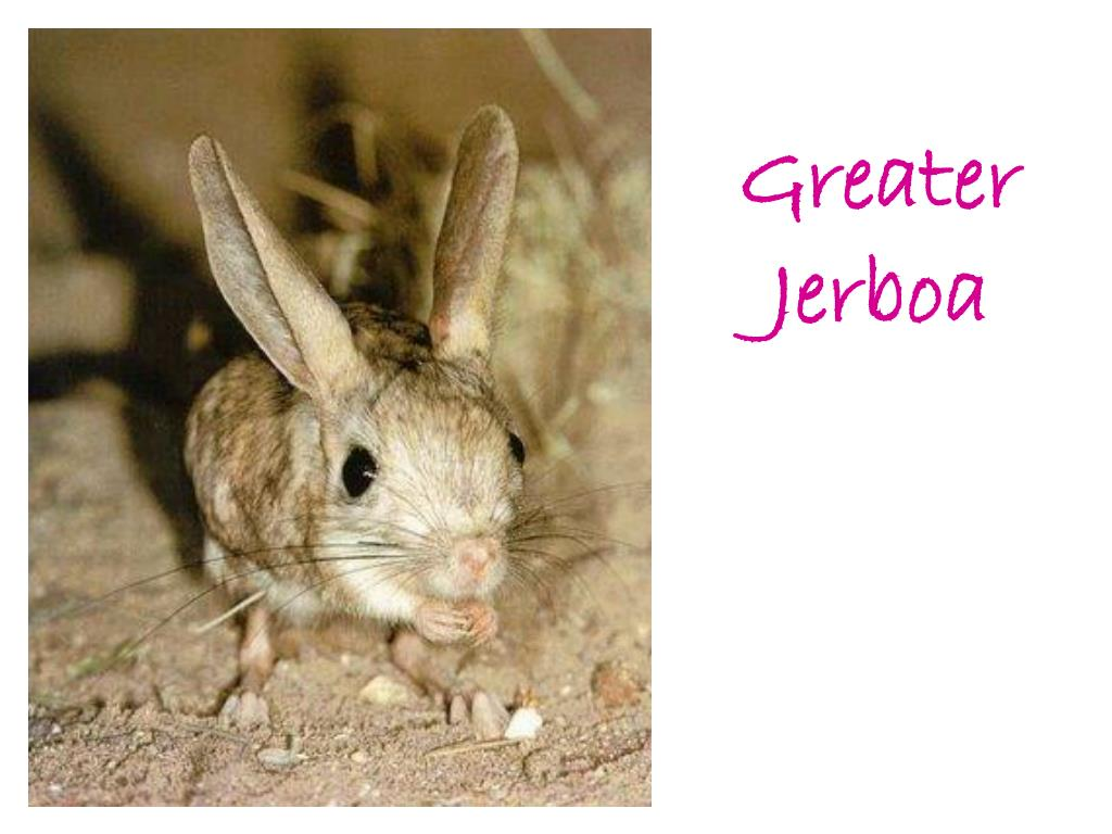 Greater Jerboa