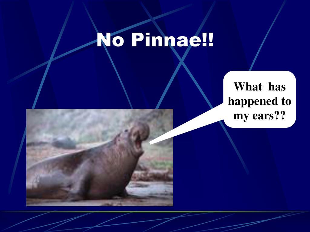 No Pinnae!!