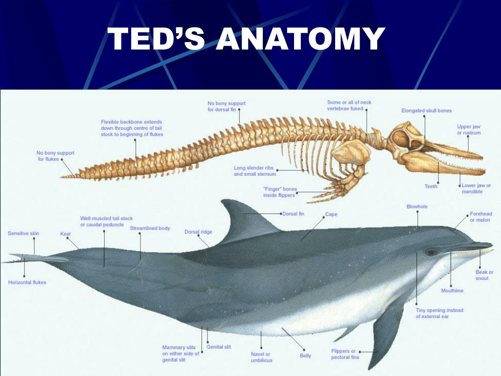 TED'S ANATOMY