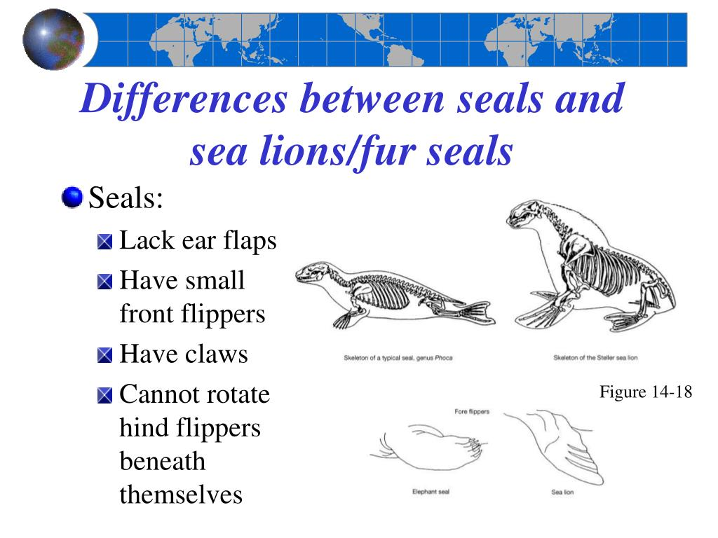 Differences between seals and sea lions/fur seals