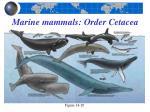 marine mammals order cetacea19