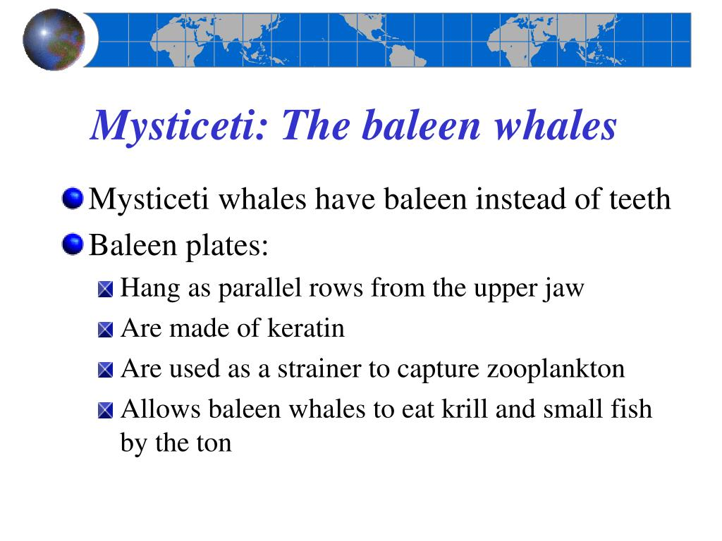 Mysticeti: The baleen whales