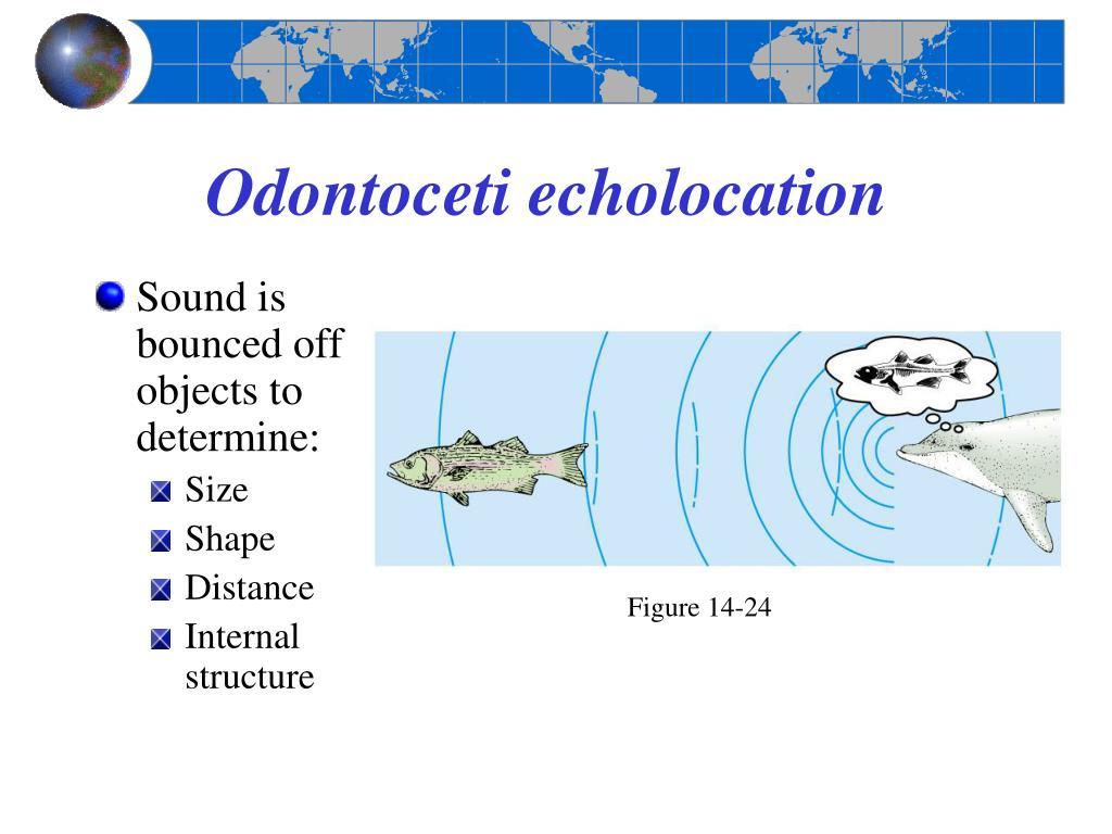 Odontoceti echolocation