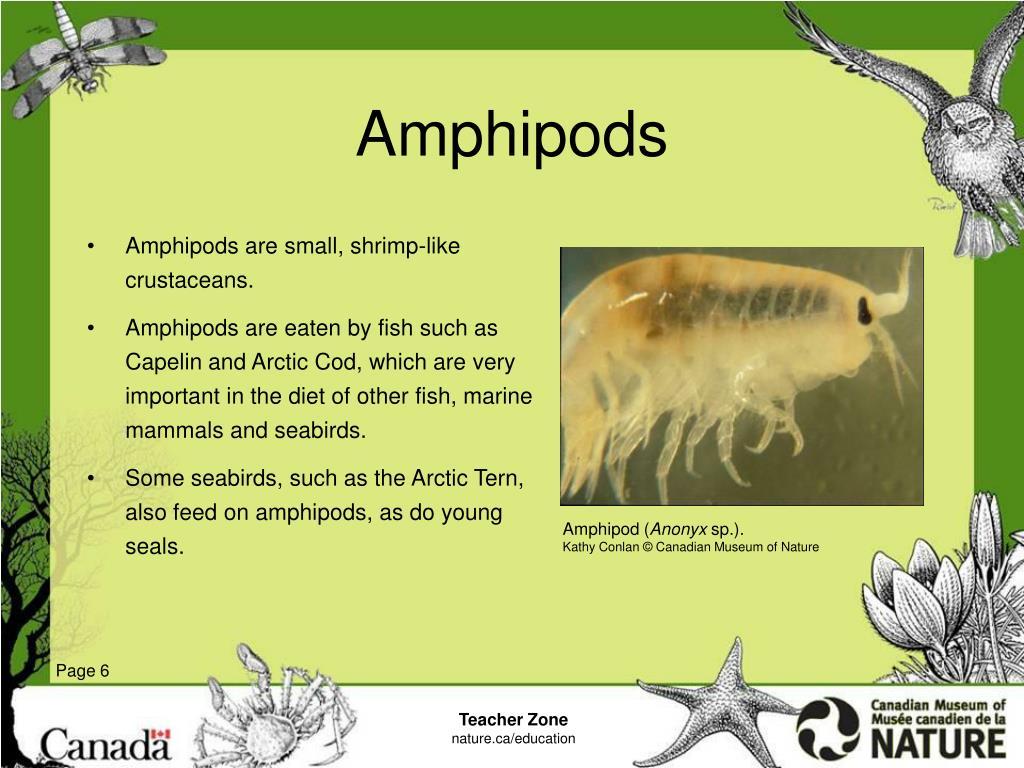 Amphipods