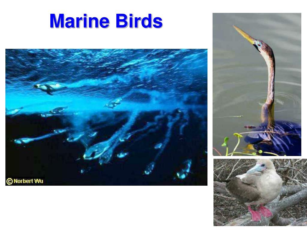 Marine Birds