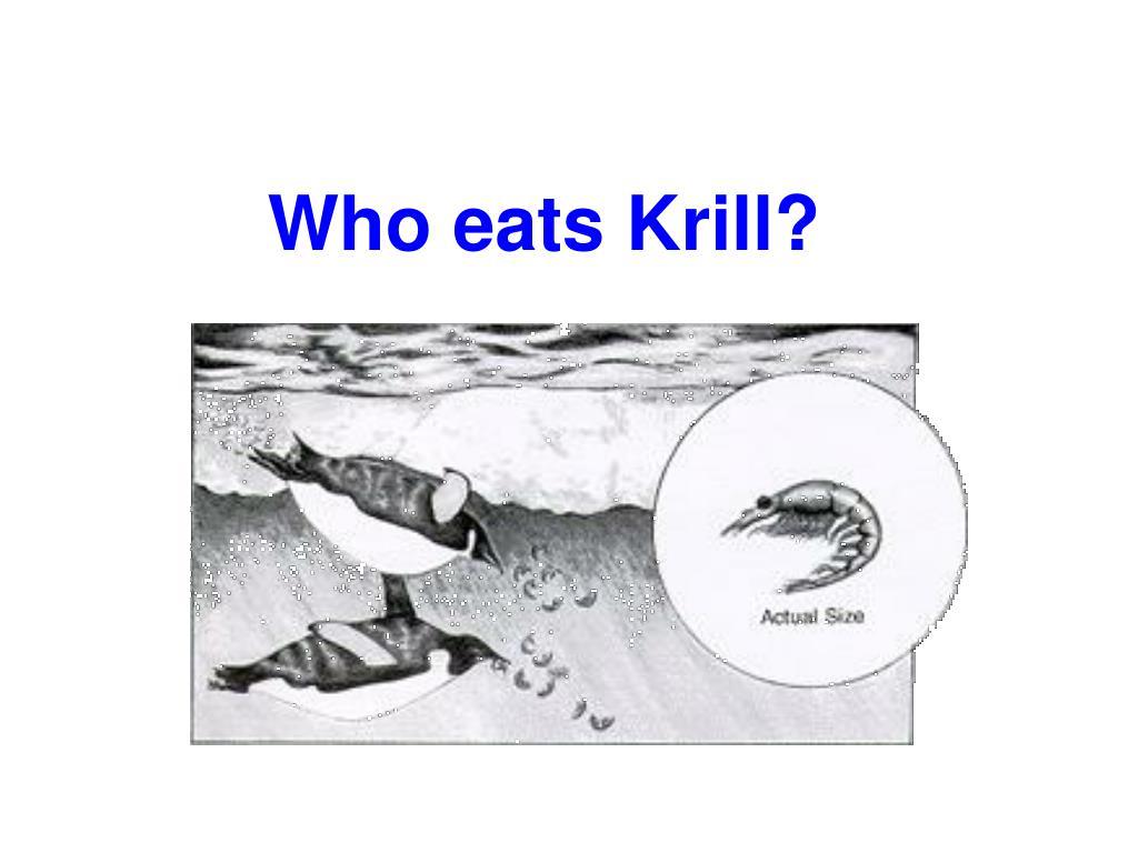 Who eats Krill?