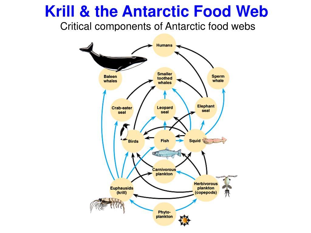 Krill & the Antarctic Food Web