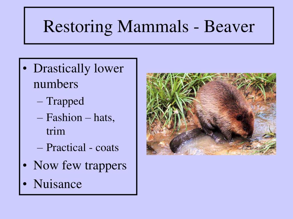 Restoring Mammals - Beaver