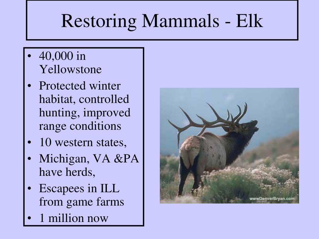 Restoring Mammals - Elk