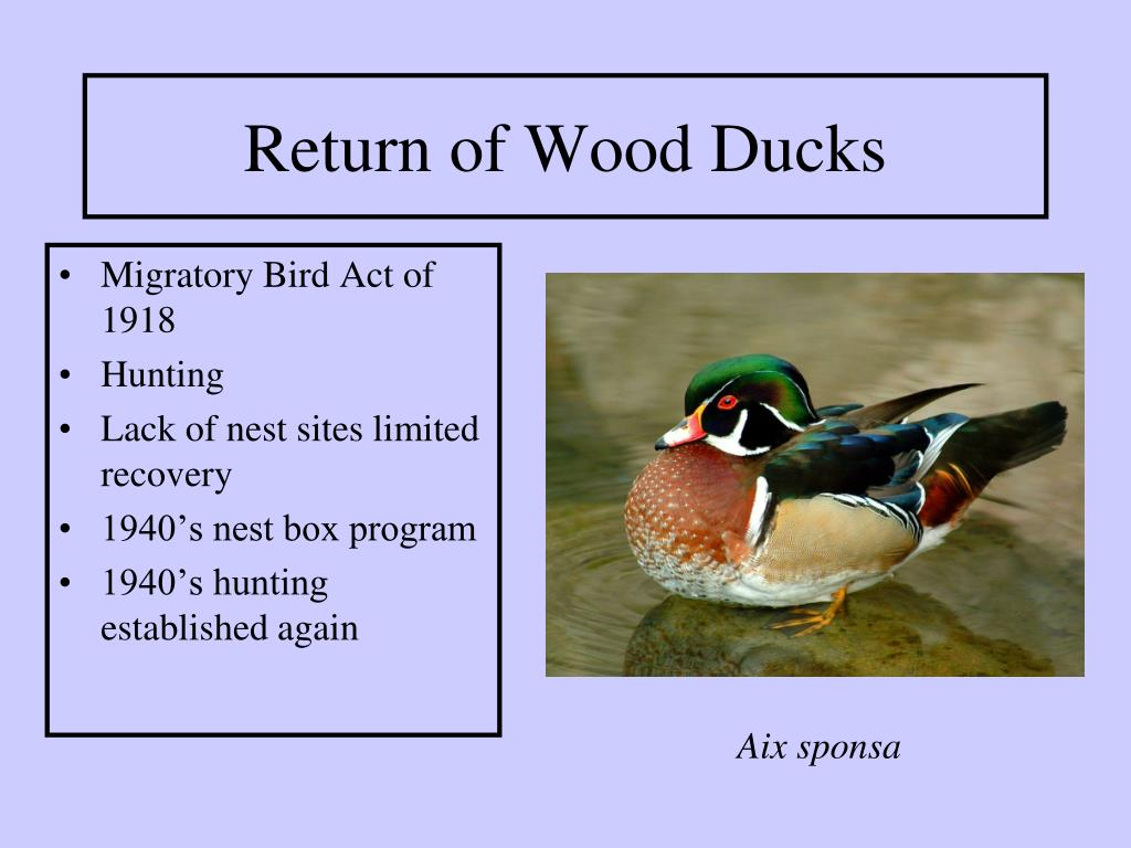 Return of Wood Ducks
