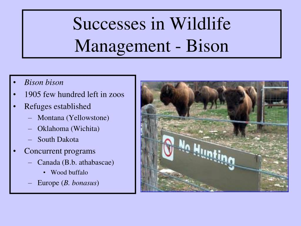 Successes in Wildlife Management - Bison