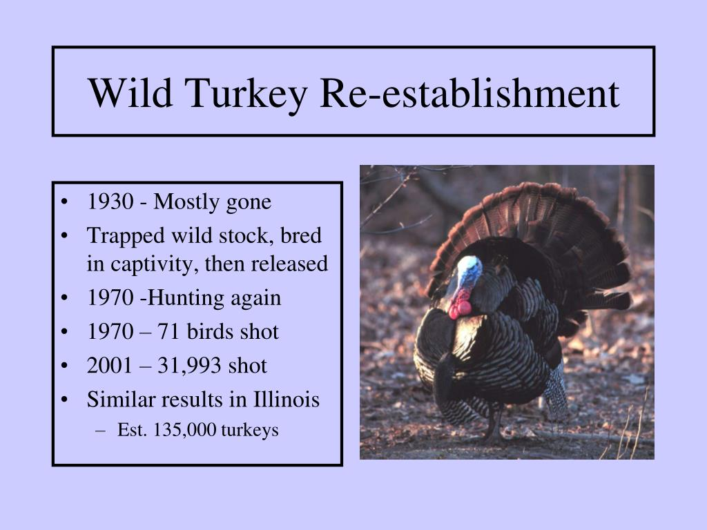 Wild Turkey Re-establishment