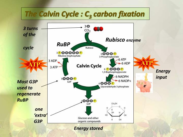 The calvin cycle c 3 carbon fixation1