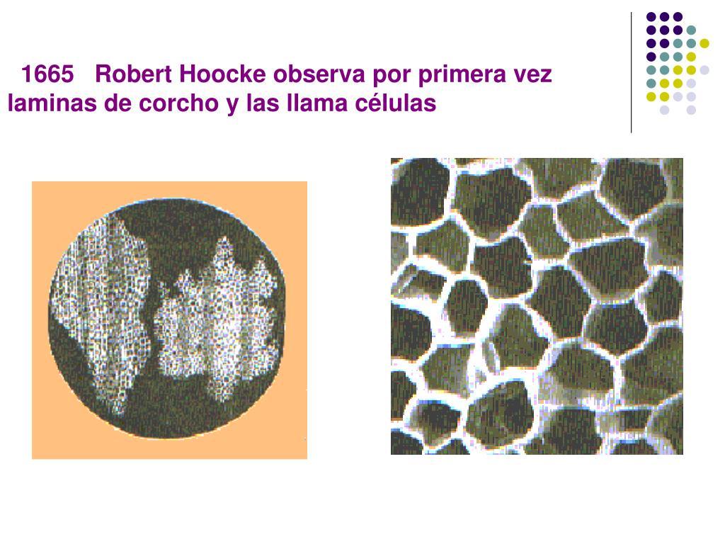 1665   Robert Hoocke observa por primera vez laminas de corcho y las llama células