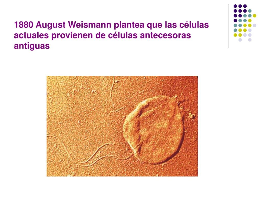 1880 August Weismann plantea que las células actuales provienen de células antecesoras antiguas