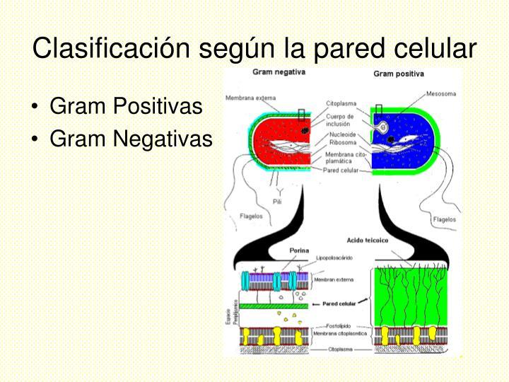Clasificación según la pared celular