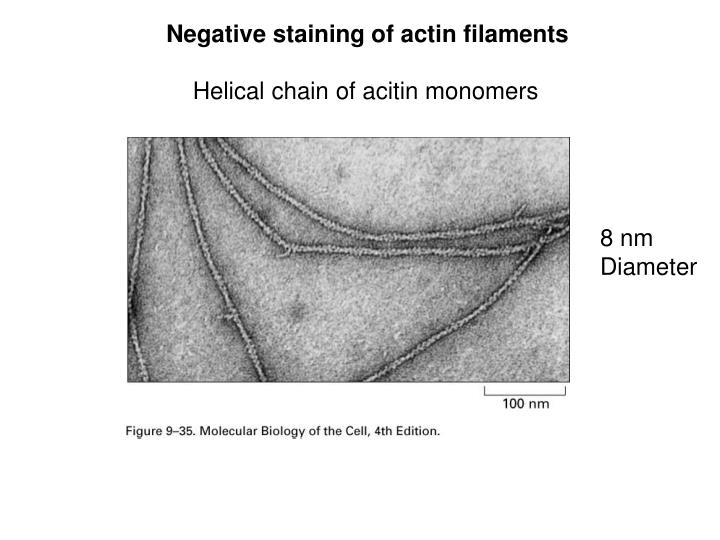 Negative staining of actin filaments