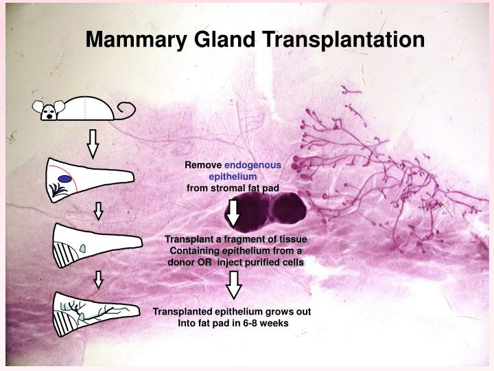 Mouse Mammary Gland
