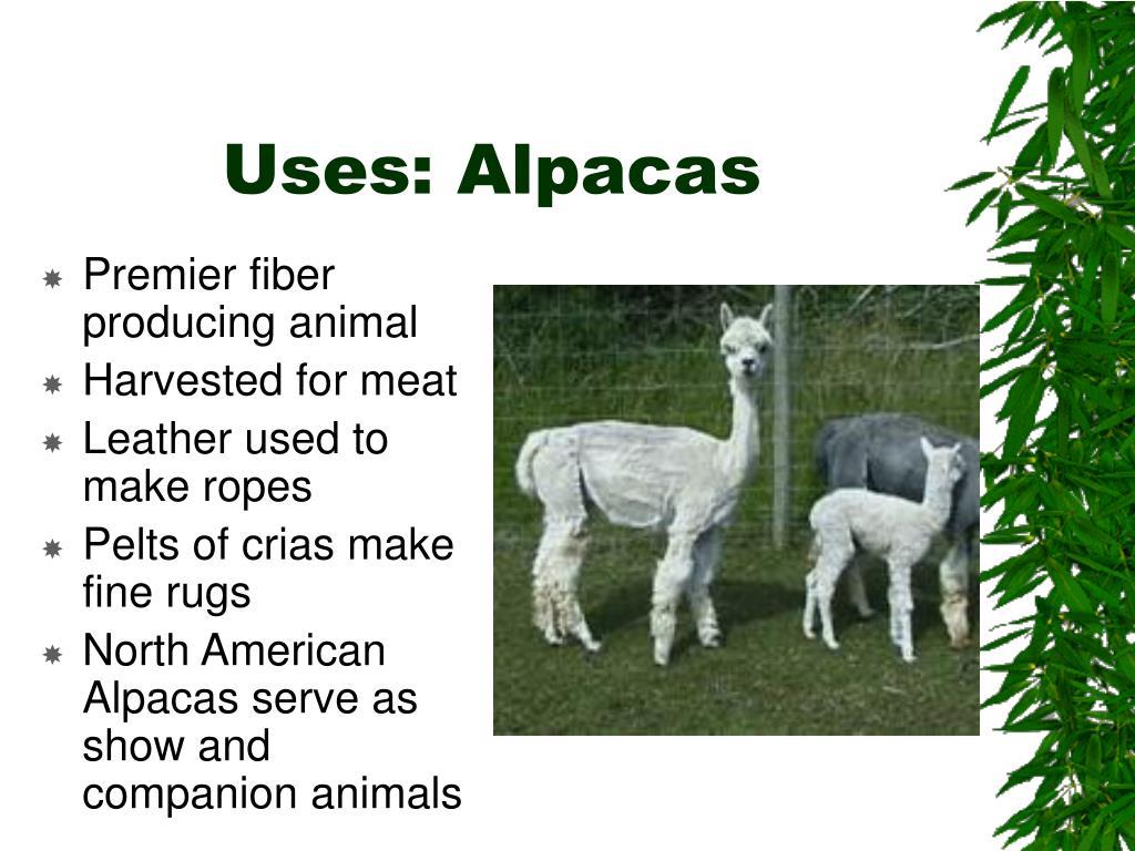 Uses: Alpacas