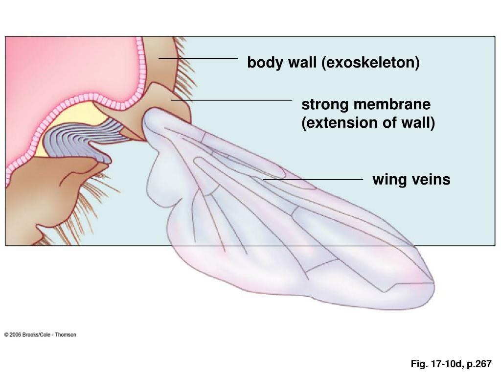 body wall (exoskeleton)