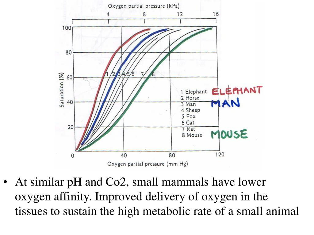 At similar pH and Co2, small mammals have lower oxygen affinity. Improved delivery of oxygen in the tissues to sustain the high metabolic rate of a small animal