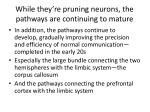 while they re pruning neurons the pathways are continuing to mature