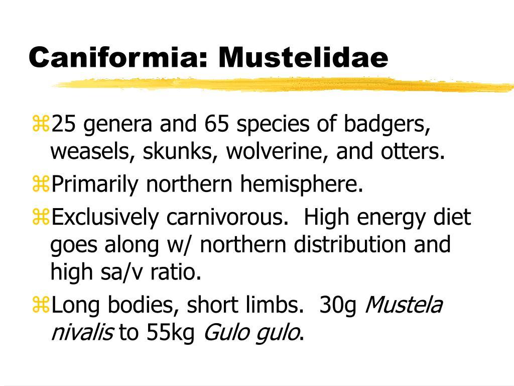 Caniformia: Mustelidae