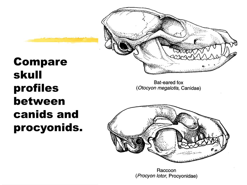 Compare skull profiles between canids and procyonids.