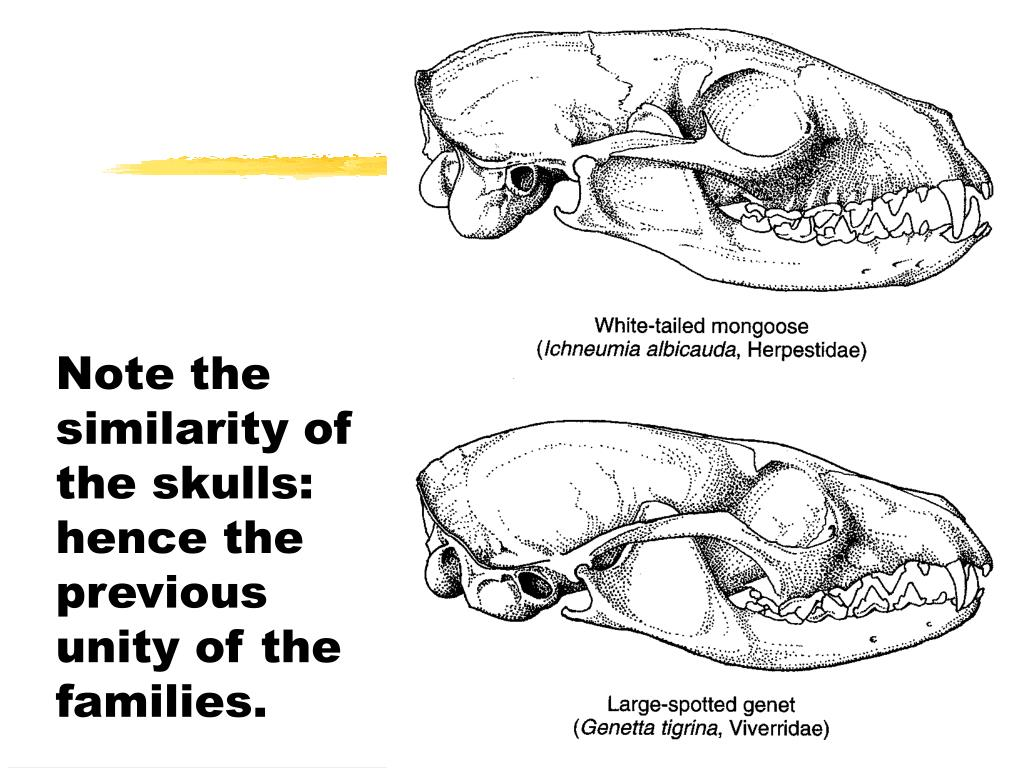 Note the similarity of the skulls: hence the previous unity of the families.