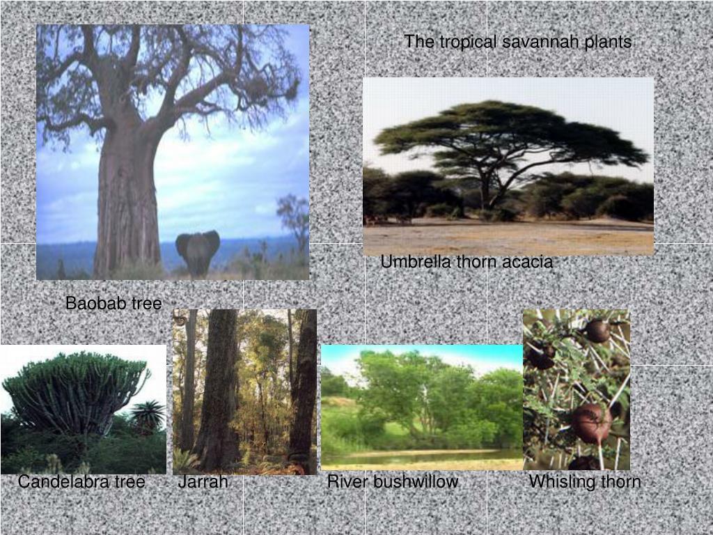 The tropical savannah plants