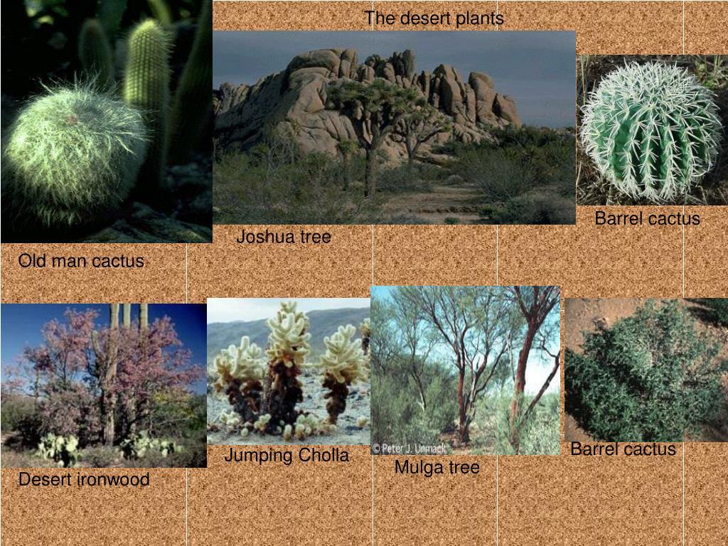 The desert plants