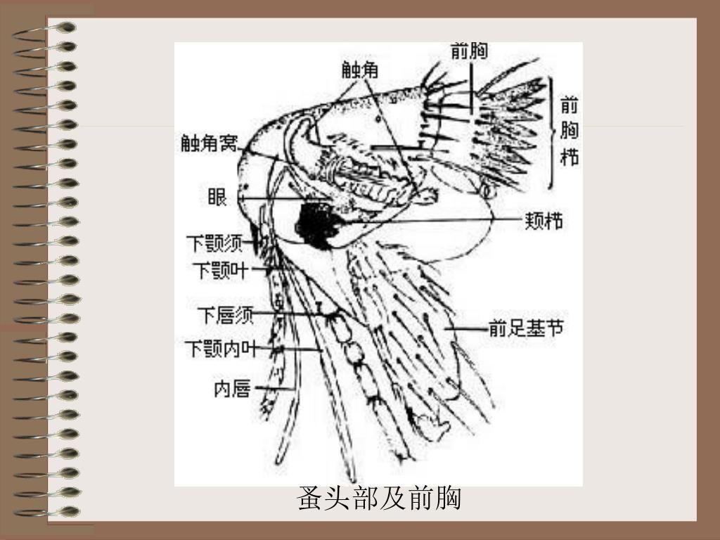 蚤头部及前胸