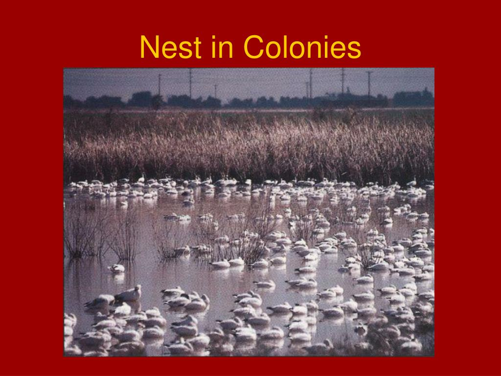 Nest in Colonies