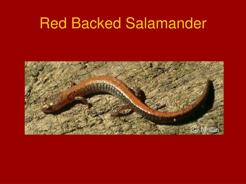Red Backed Salamander