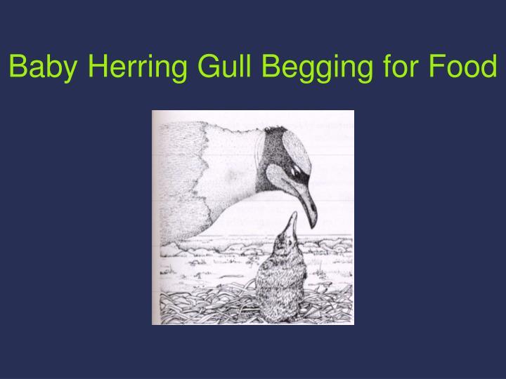 Baby Herring Gull Begging for Food