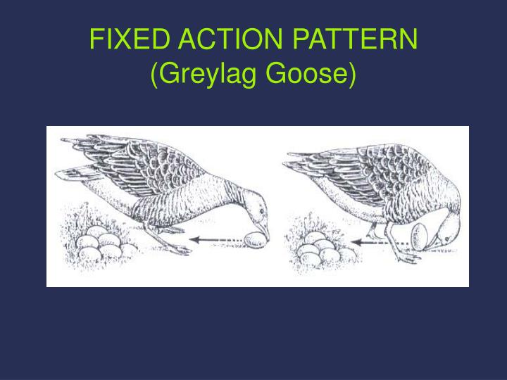 FIXED ACTION PATTERN (Greylag Goose)