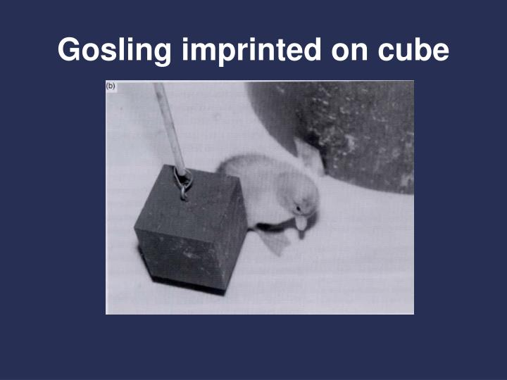 Gosling imprinted on cube