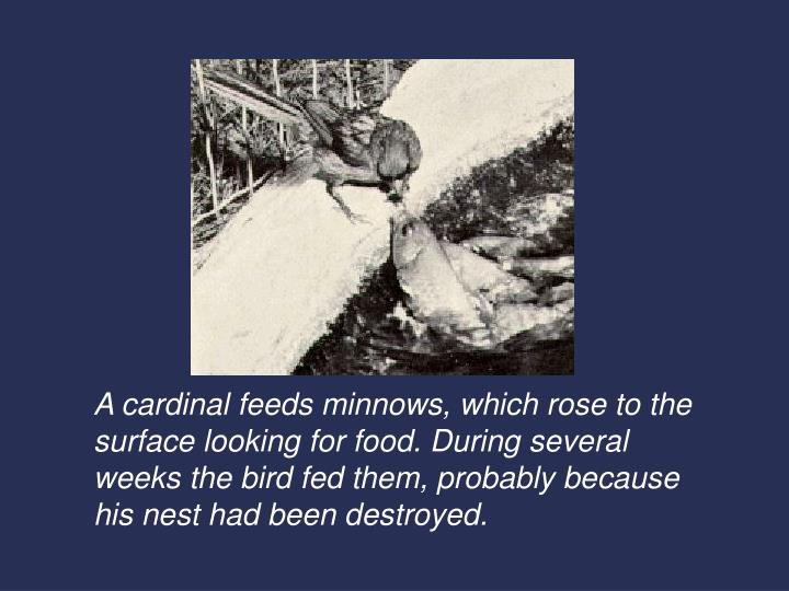 A cardinal feeds minnows, which rose to the surface looking for food. During several weeks the bird ...