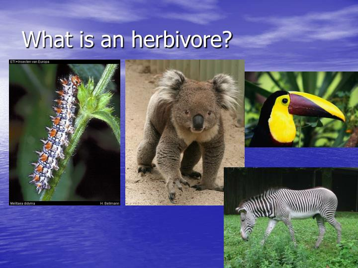 What is an herbivore l.jpg