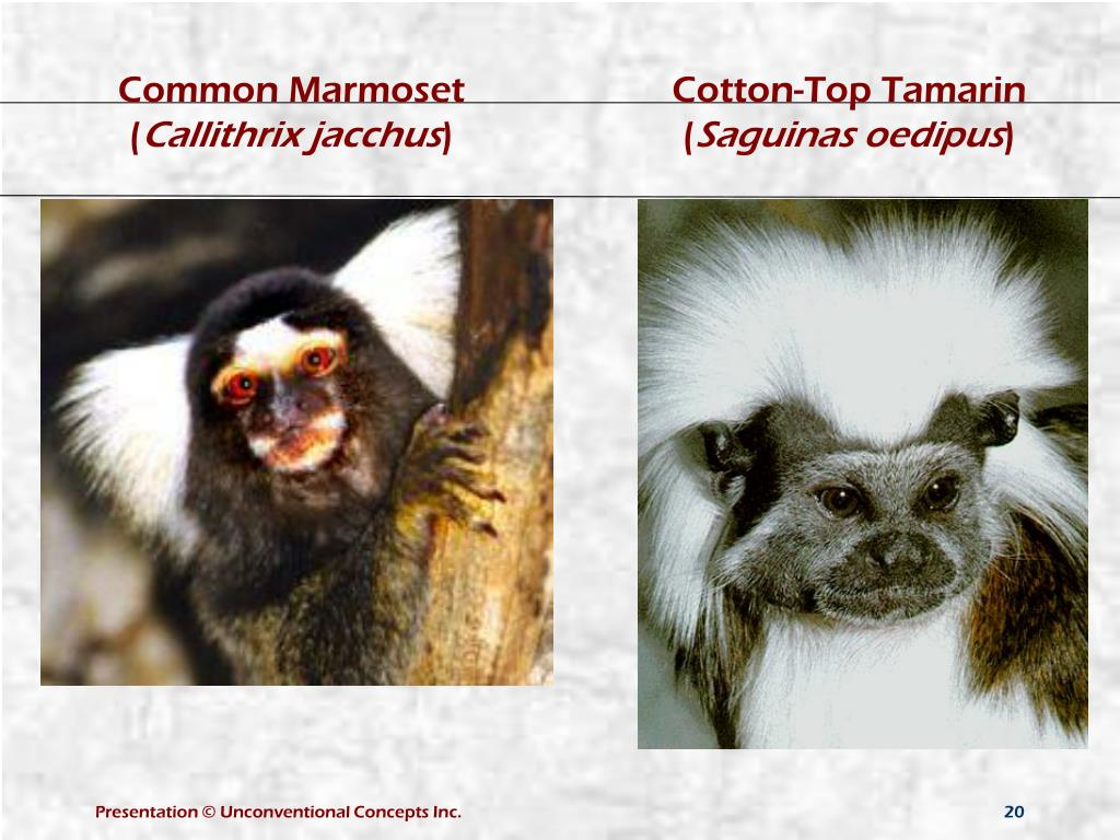 Common Marmoset (