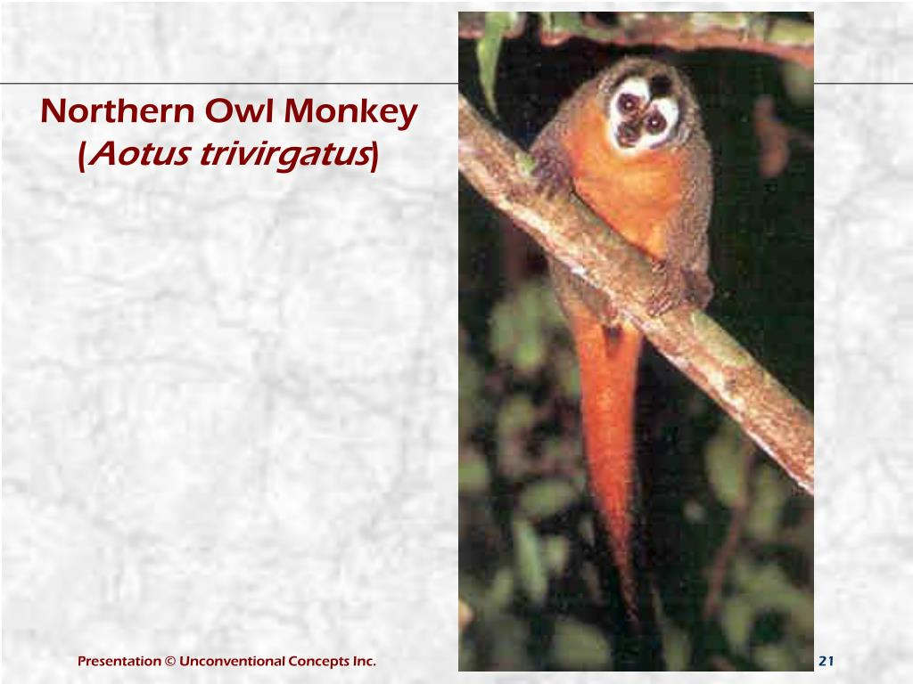 Northern Owl Monkey (