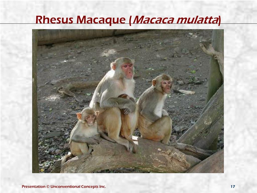 Rhesus Macaque (
