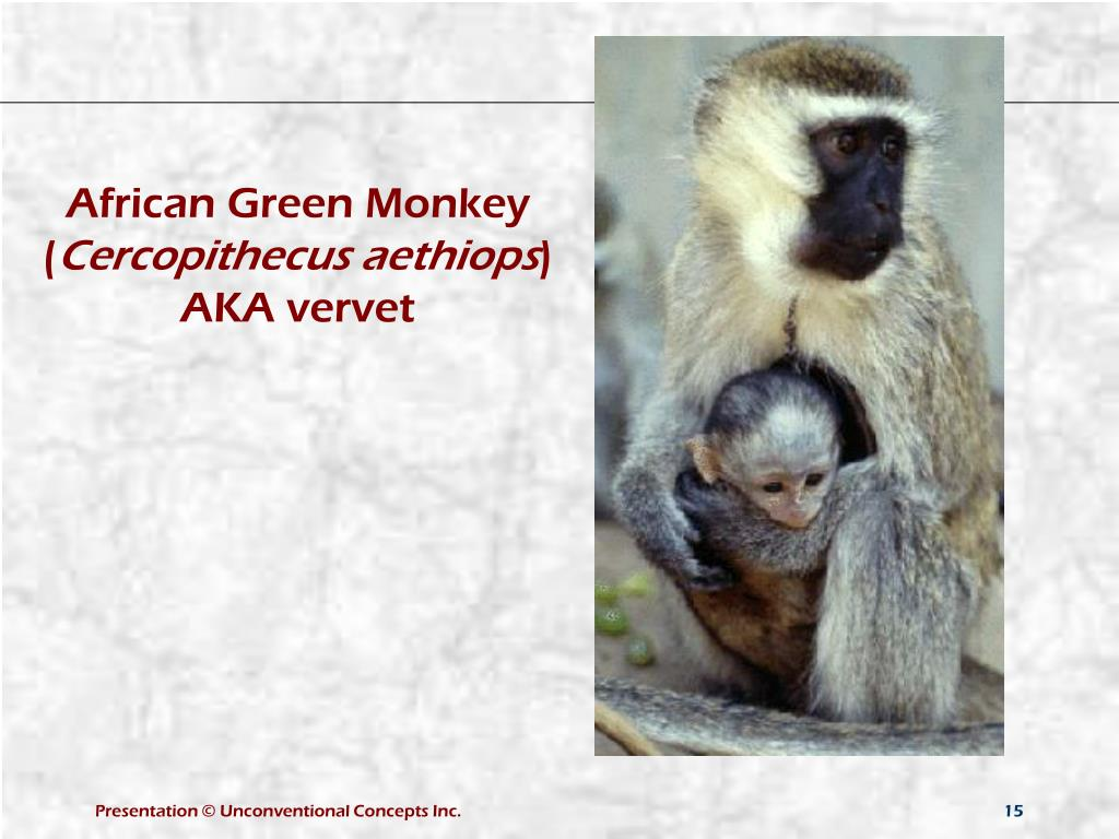 African Green Monkey (